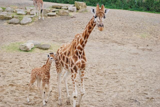 Adult and baby giraffe at Dublin Zoo