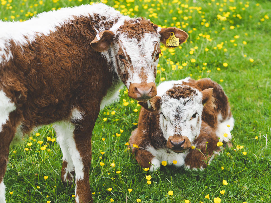 calves at The Pointer farm in Brill