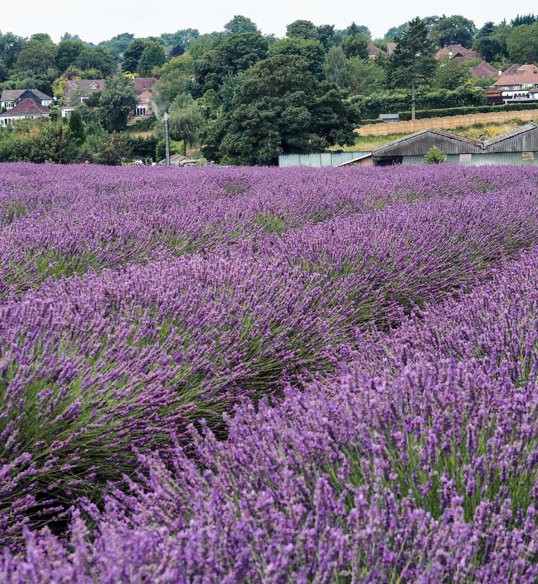 mayfield lavender field sutton