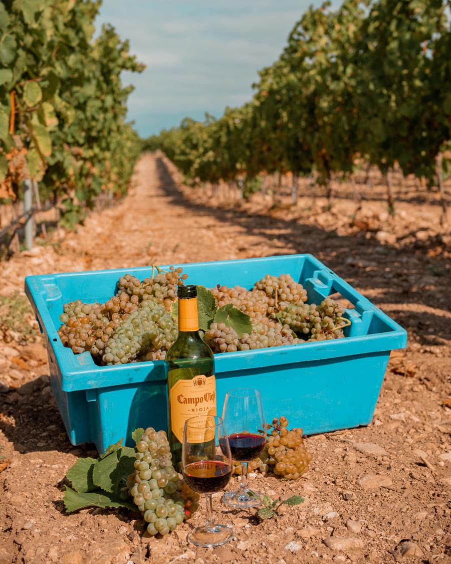 picking grapes at the campo viejo vineyard
