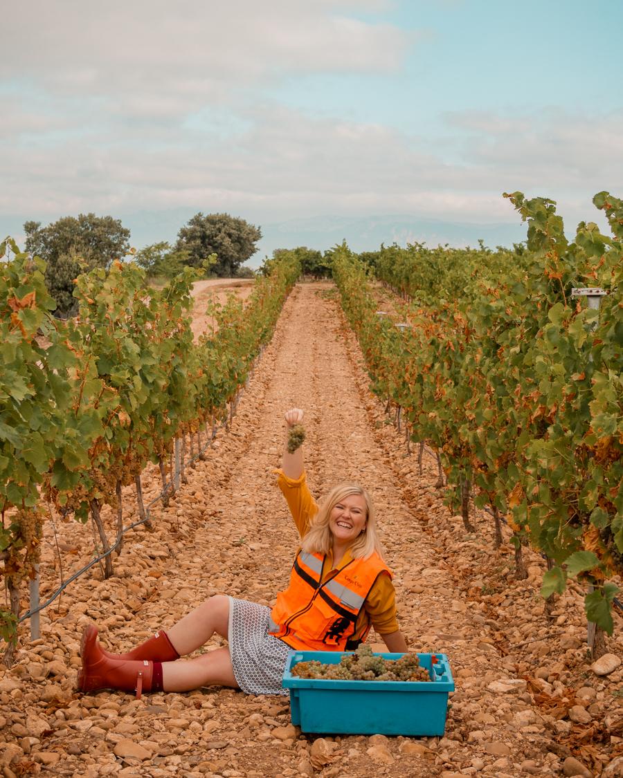 picking grapes at the campo viejo vineyward
